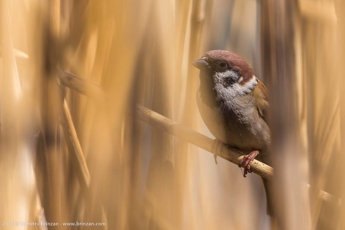 Photo of a House Sparrow in a park in Moldova