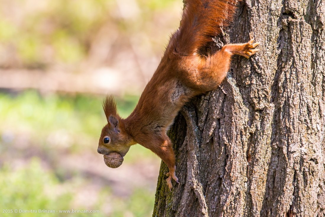 A red-haired squirrel with a whole nut in its mouth