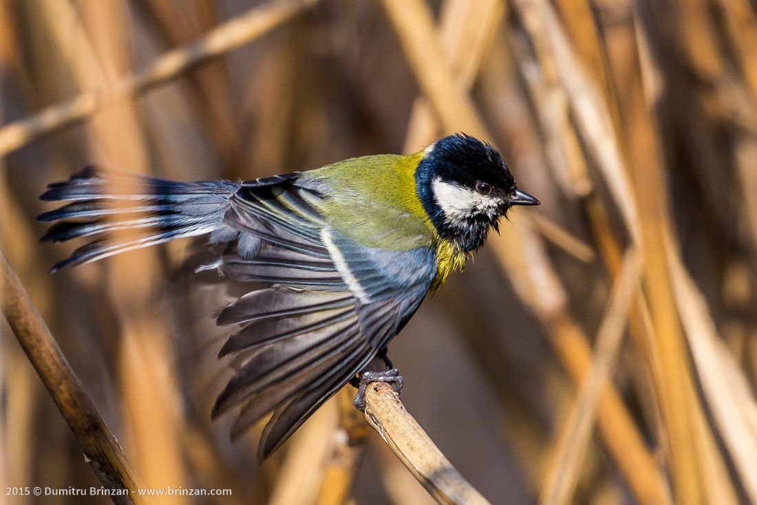 Eurasian Great Tit washing its feathers in a park in Chisinau, Moldova