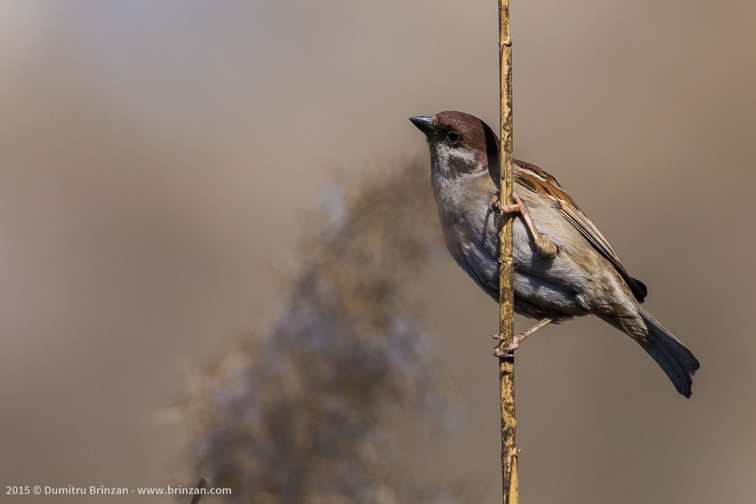 House Sparrow on a Thin Branch in a Park in Chisinau, Moldova
