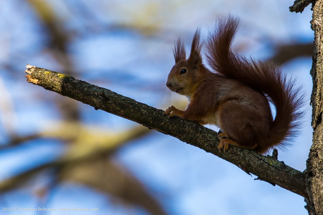 Red-Haired Squirrel on a Tree Branch
