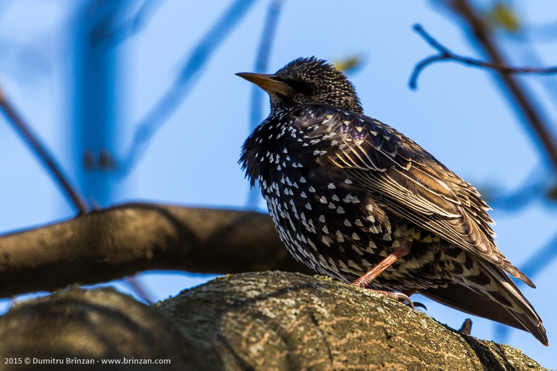 Common Starling on a Tree Branch in a Park in Chisinau, Moldova