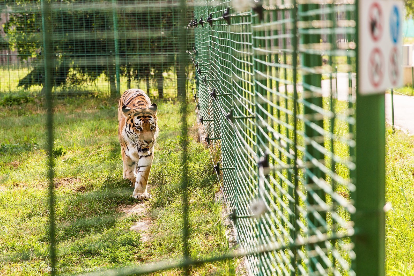 This agitated tiger was patrolling the perimeter of his enclosure.