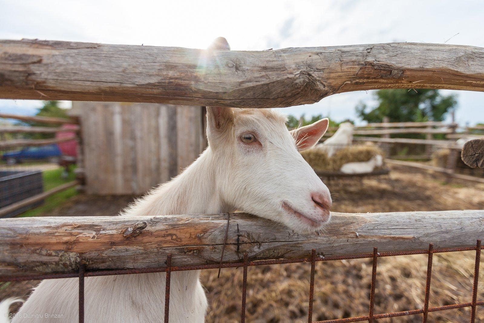 2016-podere-il-casale-pienza-13-goat